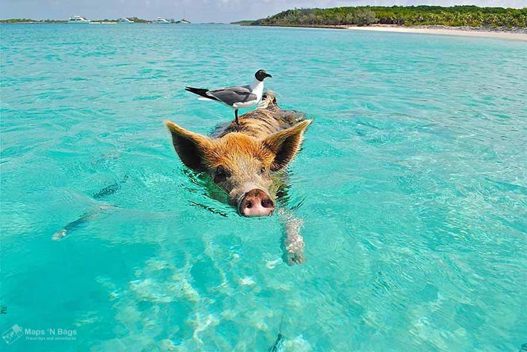 pig-swimming-bahamas-blue-water-reasons-love-to-travel
