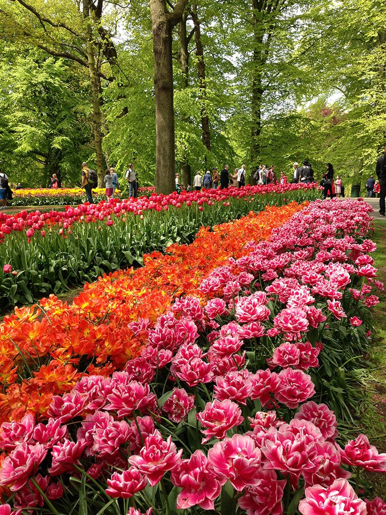 Orange and pink flowers in the Keukenhof Gardens in the Netherlands.
