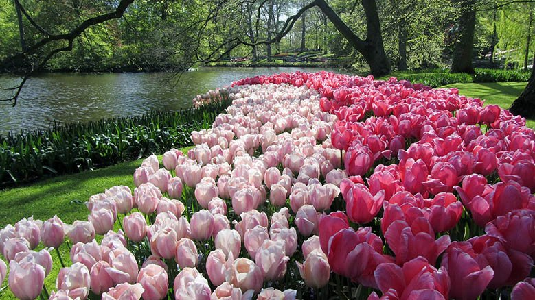 Pink tulips in the Keukenhof Gardens in the Netherlands.