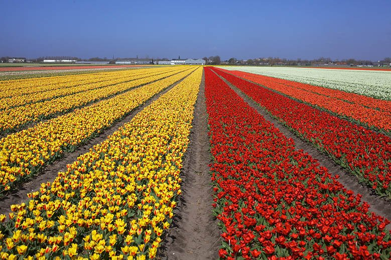 Red and yellow tulips in a field in Lisse, the Netherlands.