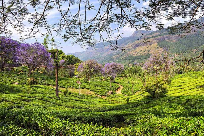 Green valley in Munnar, India