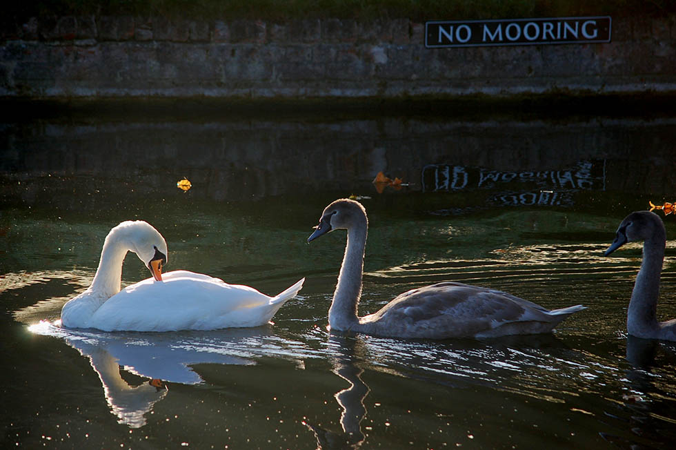 Swans swimming in calm waters in Cambridge