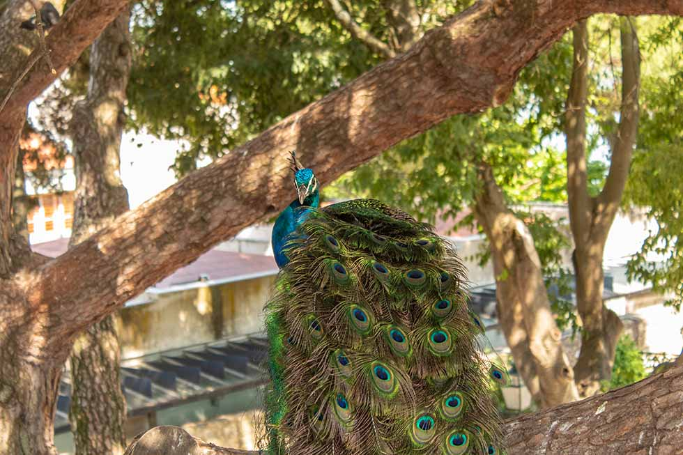 Peacock on a tree at the Sao Jorge Castle in Lisbon #Portugal #travel #Europe