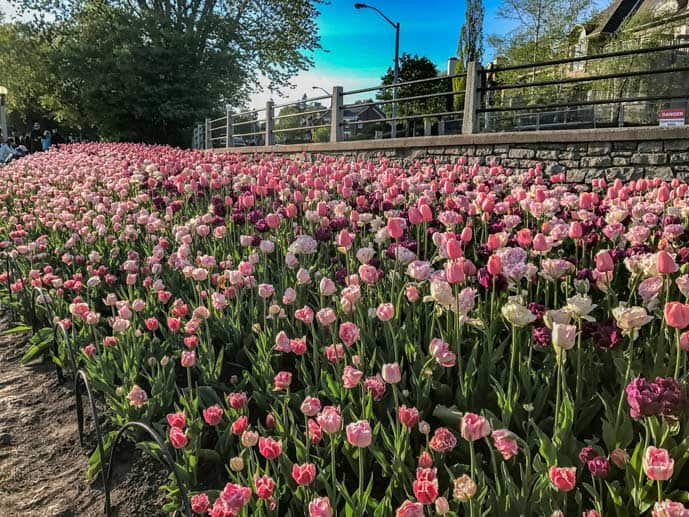 Pink tulips in Ottawa