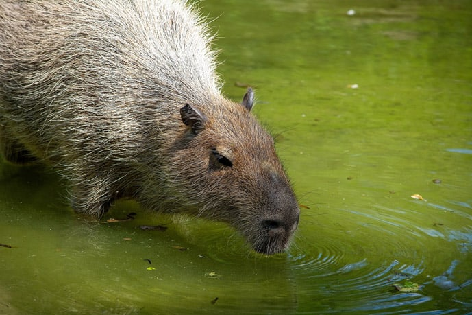 Capybara in the Pampas, Bolivia