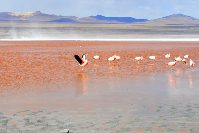 Flamingos in Laguna Colorada in Salar de Uyuni