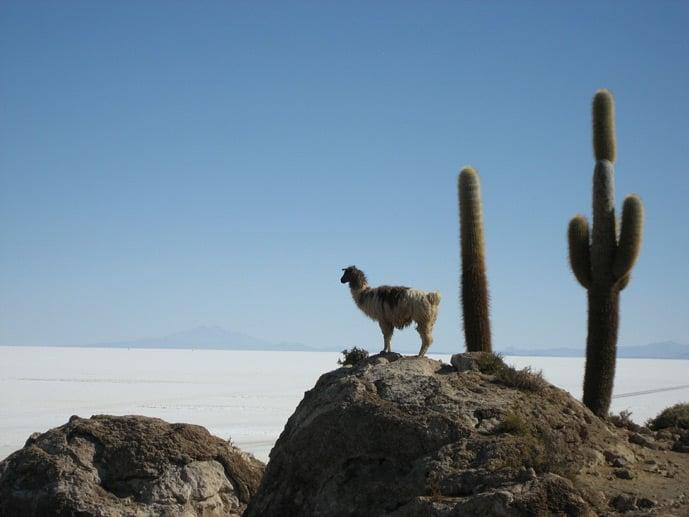 Llama standing on a rock at the Bolivian salt flats