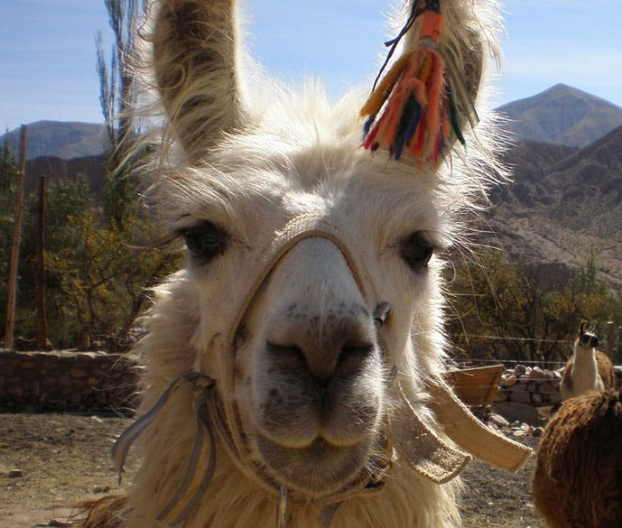 Reasons to travel to Bolivia, llamas