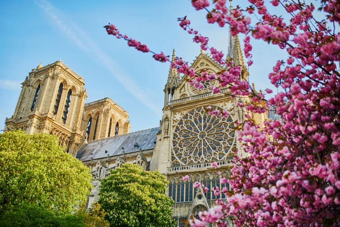 Cherry blossom near the Notre-Dame Cathedral in Paris in April