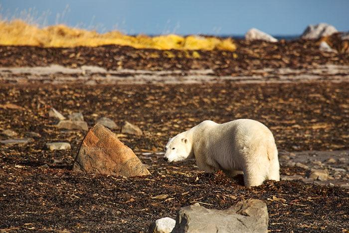 Polar bear on the Hudson Bay shoreline in southern Nunavut, Canada