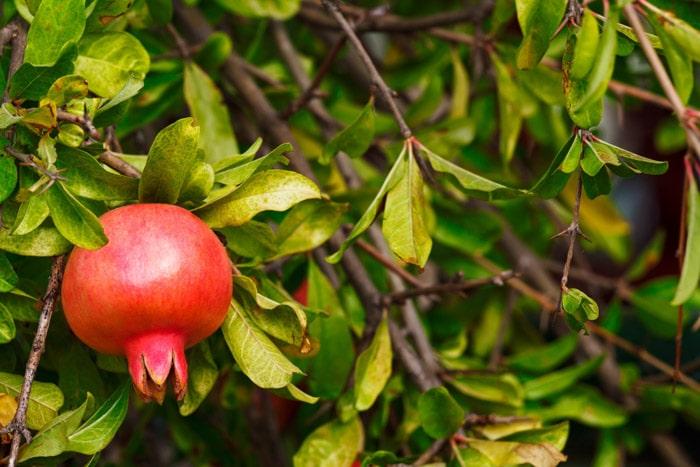 Pomegranate tree in London
