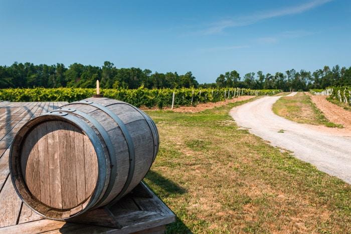 Vineyard in Prince Edward County, Ontario